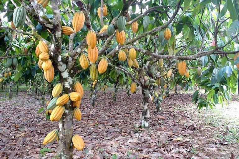 Projeto quer devolver ao Brasil título de maior produtor de cacau do mundo - (Foto: Marco Nascimento/Agência Pará)